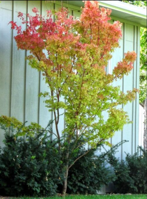 coral bark japanese maple NC