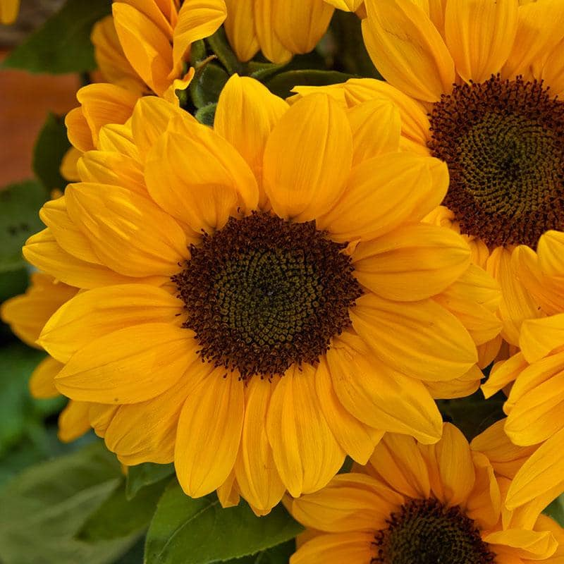 f1 sunflower
