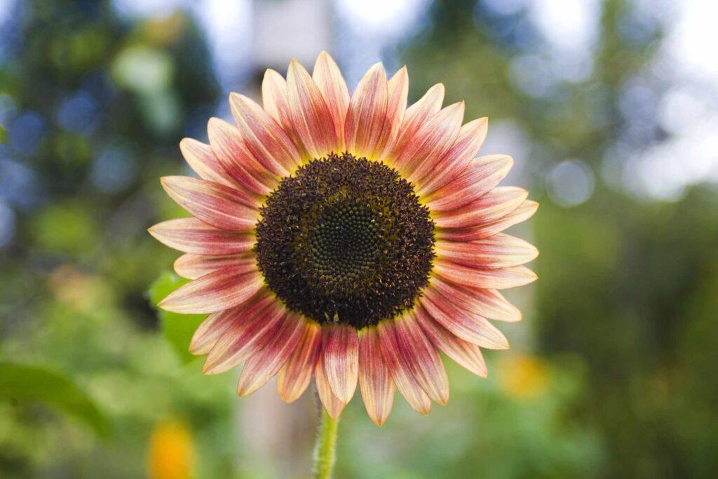 strawberry blond sunflower